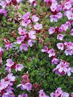 bright pink flowers emerge from a low mat of green leaves