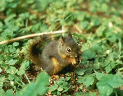 Douglas squirrel finds food on the forest floor.