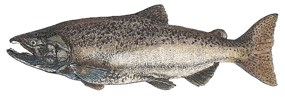 chinook salmon