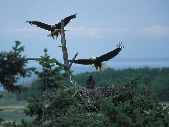 Bald eagles in flight over forest