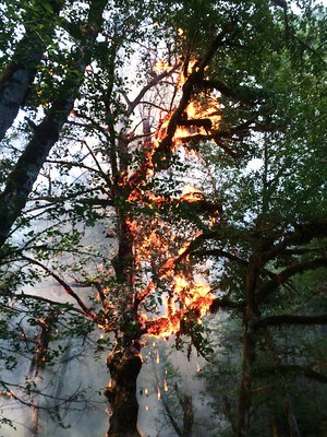 Burning mosses and lichen on a Red Alder
