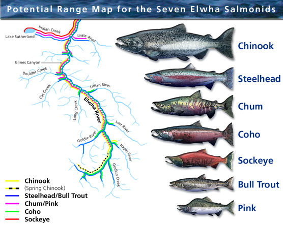 Potential range of anadromous fish runs in Elwha after dam removal
