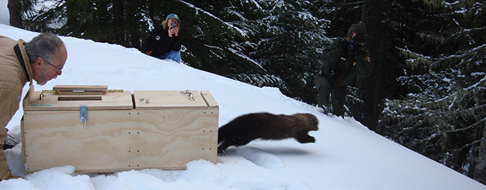 A fisher runs from a wood carrier.