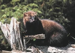 A fisher sits on a stump.