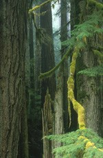 mossy branch descends from forest of old-growth trees