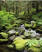 creek flowing through forest, many moss covered rocks