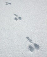 Hare's large back feet prints with smaller front foot imprints behind crossing snow