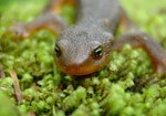 Rough-skinned newts use their bright orange underbellies as well as a poison secreted from their skin to protect themselves. They breed in ponds but usually live in the forest.