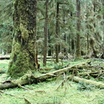 green carpet of moss and other plant on forest floor with tall, mossy tree trunks above