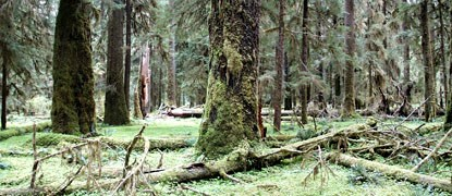 green understory in open rain forest with straight, mossy trunks