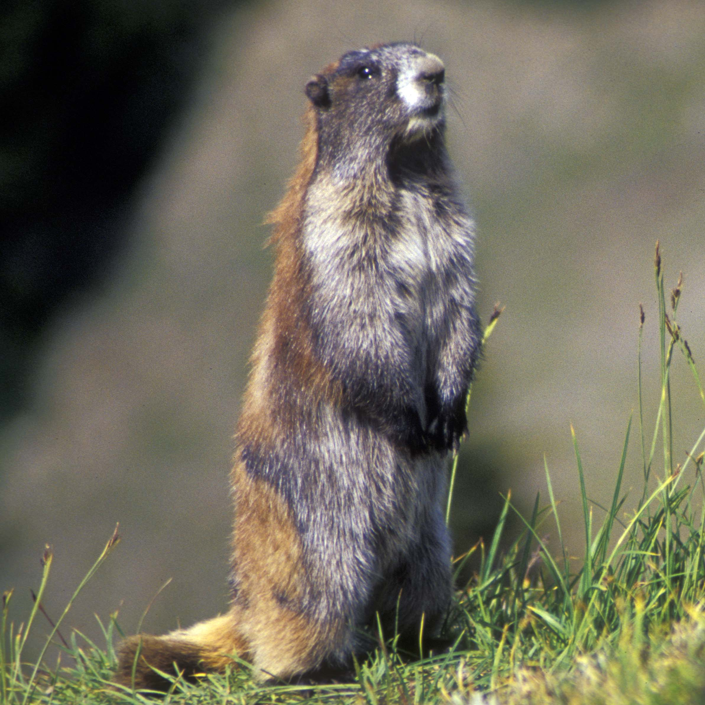 Olympic Marmot Monitoring - Olympic National Park (U.S ...