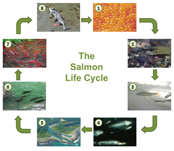 The Salmon Life Cycle - Olympic National Park (U.S ...