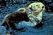 Sea otter floating on back in ocean with dark brown pup on her belly