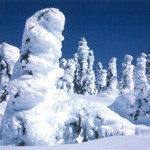 Firs plastered with 1-2 feet of snow and ice with blue sky above