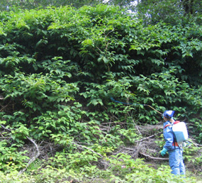 EPMT knotweed treatment