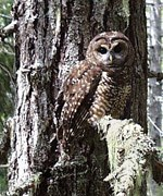brown owl with spotted and streaked markings sits on lichen draped branch of old growth tree