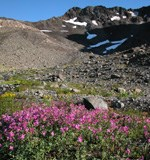 Bright pinkish red flowers in gravel with rocky peak with snow patches in back