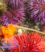 round, spiny purple and red urchins & orange frilly nudibranch in tidepool