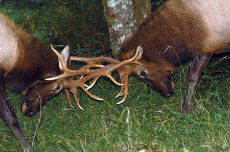 two bull elk with antlers entangled