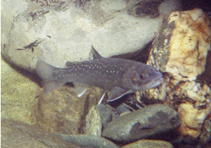 gray fish with yellow spots swimming among river boulders