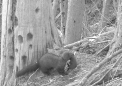 black and white image of female fisher and kit