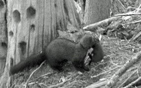 black and white image of female fisher carrying baby in her mouth