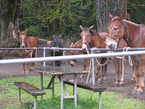 five mules hitched to rail