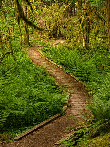 Boardwalk through old growth forest