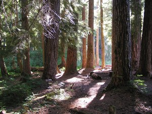 A forest of trees with sunlight pouring through and dappling the forest floor.