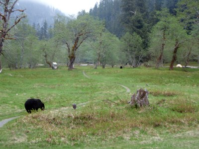 Enchanted Valley Black Bears