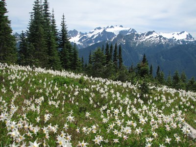 High Divide Avalanche Lillies