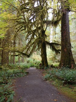 Trail leads through thick Hoh forest.