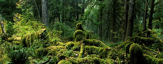 Trees, shrubs, ferns and moss in the Hoh Rain Forest