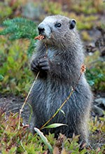 Marmot on hind legs eats a plant