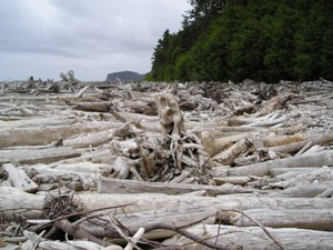 Drift Logs at Hoh River mouth