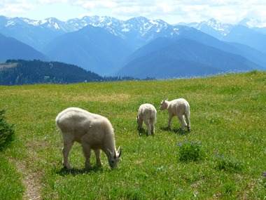 An adult and two juvenile mountain goats graze in the Olympic Mountains.