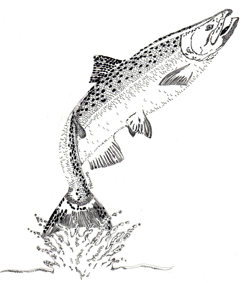 A black and white drawing of a salmon leaping