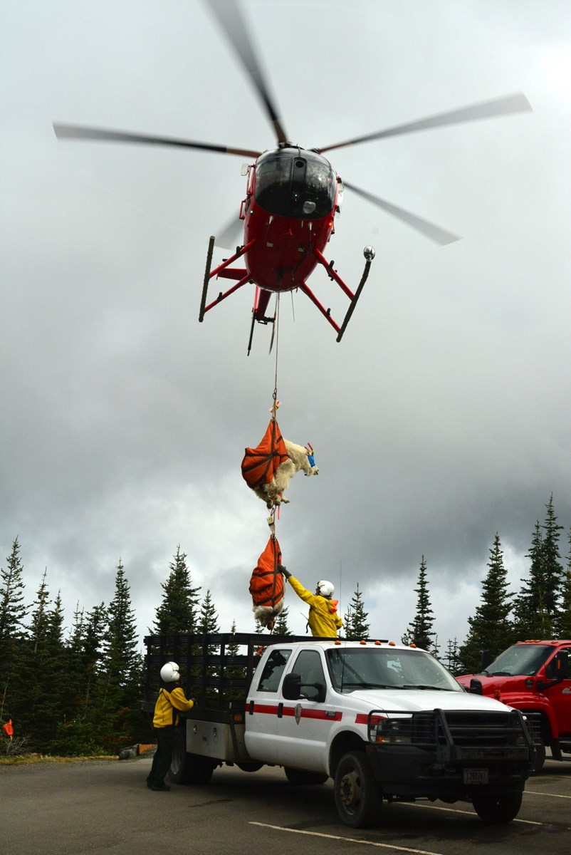 Two mountain goats in slings under a helicopter being set down into the back of a truck.