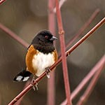 Spotted Towhee perched on a branch.