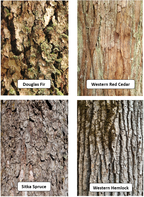 This photo is a comparison of four coniferous tree types (Douglas Fir, Western Red Cedar, Sitka Spruce, and Western Hemlock).