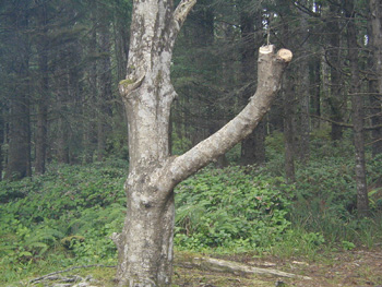 A tree that was hacked by campers for firewood