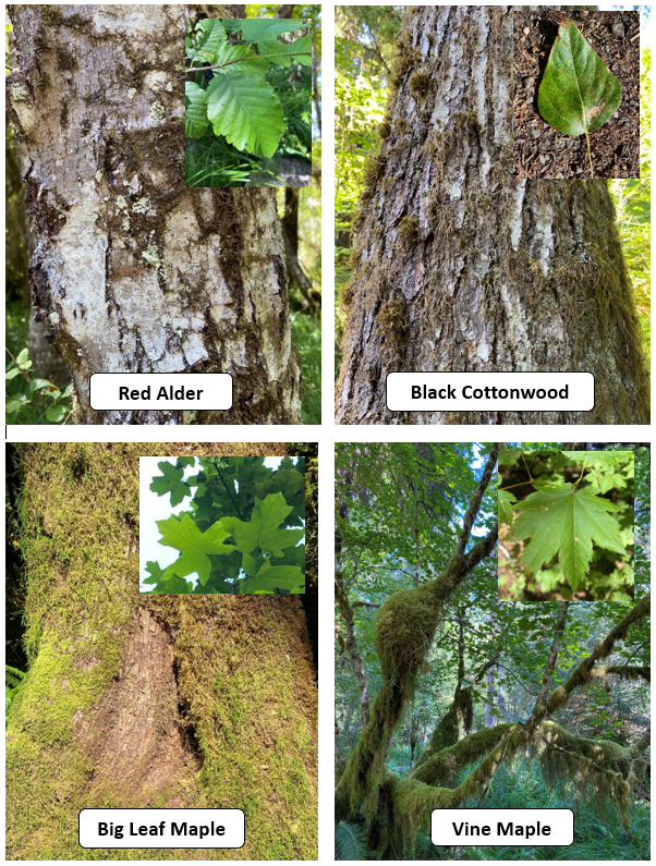 A group of photos comparing the bark and leaves of four common deciduous trees of the Hoh Rainforest. Red Alder and Black Cottonwood are on top and Big Leaf Maple and Vine Maple are on the bottom.
