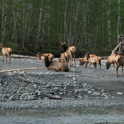 Roosevelt Elk in the Hoh River Valley