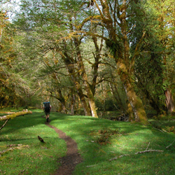 Backpacker in the Hoh Rainforest