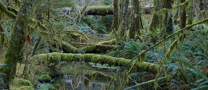 Ferns and fallen trees frame a stream in the rain forest.
