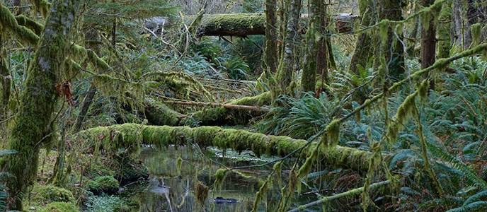 Lake Quinalt Fallen Trees