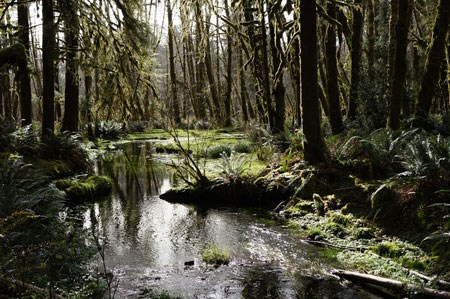 Stream reflections in the Quinault Rain Forest.