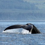 A whale splashed their tale off Olympic Coast.