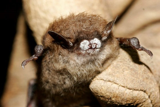 Close Up Of White Nose Infected Bat