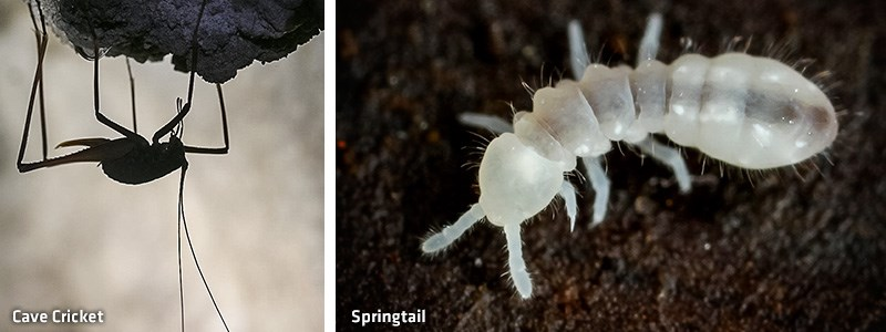 Cave-Cricket-Springtail